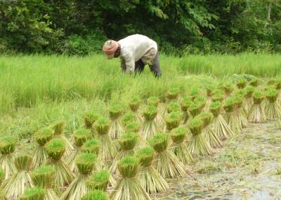 Rijstplantjes om opnieuw te worden uitgeplant